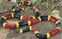 Cobra coral verdadeira: uma das mais venenosas do Brasil