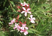 Curiosidades sobre as plantas - Plantas venenosas de interior ...