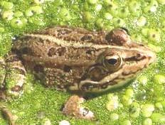 fotos de anfíbios imagens de várias espécies de anfíbios